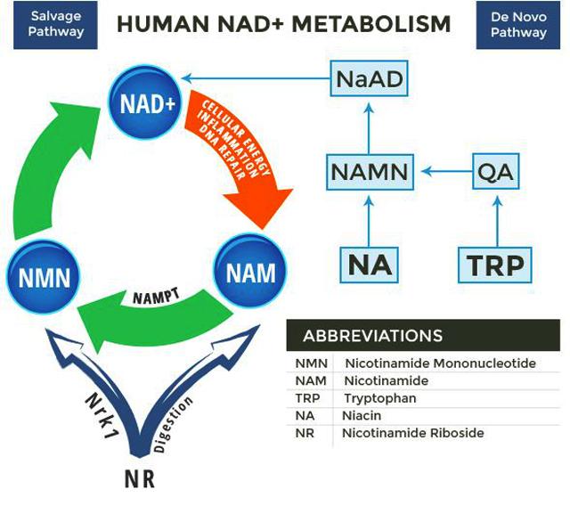NMN的真实功效会因为介质不同而产生差异吗?插图
